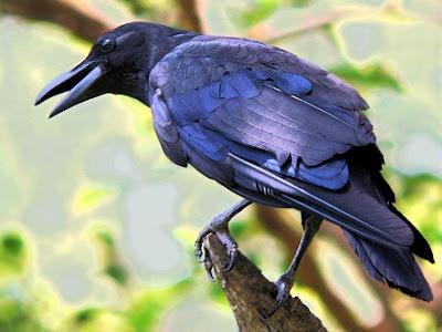 gagak hitam (1)